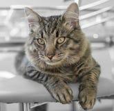 Gato que miente en el sofá Fotografía de archivo libre de regalías