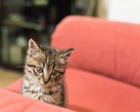 Gato que miente en el sofá rojo Fotos de archivo