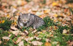 Gato que miente en hojas de otoño y que mira la cámara Foto de archivo libre de regalías