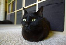 Gato que miente en la alfombra en casa Imagenes de archivo