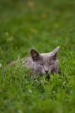 Gato que miente en la hierba Fotografía de archivo libre de regalías