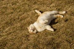 Gato que miente en la hierba Foto de archivo