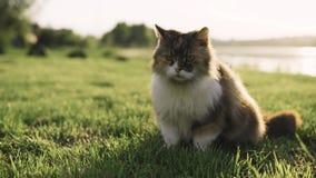 Gato que miente en la hierba y que mira alrededor en los bancos del río metrajes