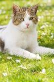 Gato que miente en los gras Imagen de archivo