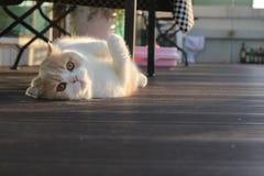 gato que miente en su parte posterior Fotos de archivo libres de regalías