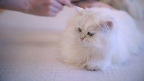 Gato que miente y que goza mientras que siendo cepillado, mujer que peina la piel del gato blanco como la nieve