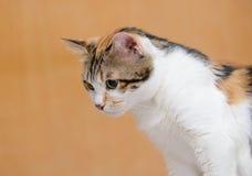 Gato que mira abajo Fotos de archivo