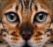 Gato que mira al top Fotografía de archivo libre de regalías