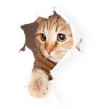 Gato que mira en el agujero rasgado lado de papel aislado Foto de archivo libre de regalías