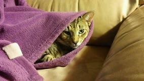 Gato que mira a escondidas hacia fuera de la manta púrpura peluda fotografía de archivo