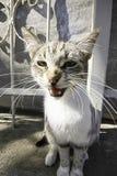 Gato que mira fijamente con la boca abierta imágenes de archivo libres de regalías