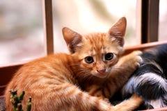 Gato que mira la cámara imagen de archivo libre de regalías