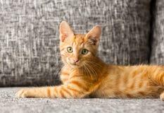 Gato que mira la cámara Imágenes de archivo libres de regalías