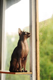 Gato que mira la ventana Foto de archivo