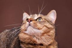 Gato que mira para arriba en fondo marrón Imágenes de archivo libres de regalías