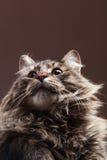 Gato que mira para arriba en fondo marrón del estudio Imagenes de archivo