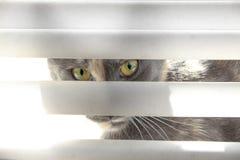 Gato que mira a través de persianas Imagenes de archivo