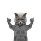 Gato que mostra o polegar acima e as boas vindas -- Isolado no fundo branco Fotografia de Stock