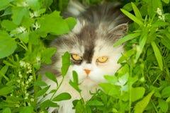 Gato que oculta en hierba Imagen de archivo libre de regalías