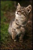 Gato que olha acima Fotos de Stock Royalty Free
