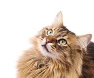 Gato que olha acima. Açaime Fotografia de Stock Royalty Free