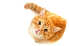 Gato que olha acima - isolado no branco Fotografia de Stock