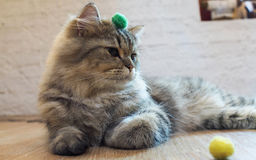 Gato que olha algo ou o jogo Foto de Stock