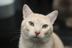 Gato que olha com curiosidade fotografia de stock royalty free