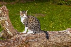 Gato que olha e que caça Imagens de Stock