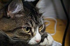 Gato que olha longe Imagem de Stock Royalty Free
