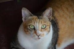 Gato que olha o no olho Imagens de Stock