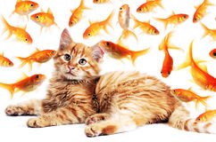 Gato que olha peixes dourados Imagens de Stock Royalty Free