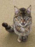 Gato que pede a afeição Imagem de Stock Royalty Free