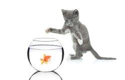 Gato que persigue un pescado en un tazón de fuente Fotos de archivo libres de regalías