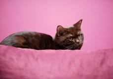 Gato que pone en la almohada foto de archivo