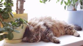 Gato que pone en un travesaño de la ventana Gato en la ventana almacen de metraje de vídeo