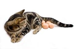 Gato que pone los huevos Imagen de archivo