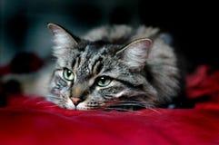 Gato que pone y que se reclina Foto de archivo libre de regalías