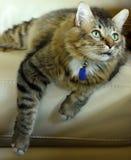Gato que presenta en el sofá Imagen de archivo