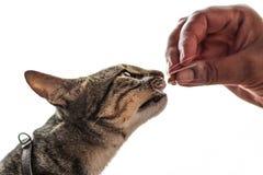 Gato que recibe el bocado Foto de archivo libre de regalías