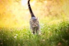 Gato que recorre hacia cámara Fotografía de archivo libre de regalías