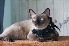 Gato que se acuesta Foto de archivo