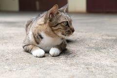 Gato que se acuesta y que hace frente a la derecha Fotos de archivo