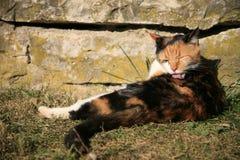 Gato que se lame Fotografía de archivo