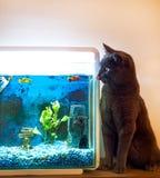 Gato que se lame los labios al lado de un acuario con los pescados de la meta en él Fotos de archivo
