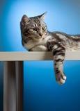Gato que se relaja Imagen de archivo