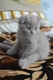 Gato que se sienta, bebé escocés púrpura imágenes de archivo libres de regalías
