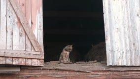 Gato que se sienta en el ático en el henil almacen de video