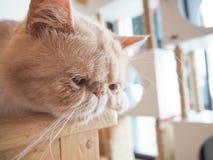 Gato que se sienta en la tabla Foto de archivo libre de regalías