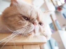 Gato que se sienta en la tabla Fotos de archivo libres de regalías